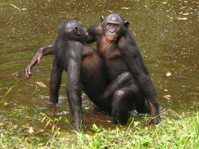 Wild cries during monkey sex linked to partner's popularity