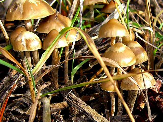 how to make hallucinogenic mushrooms