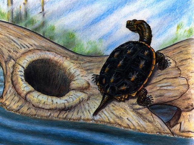 how prehistoric turtles survived meteor menace cbs news