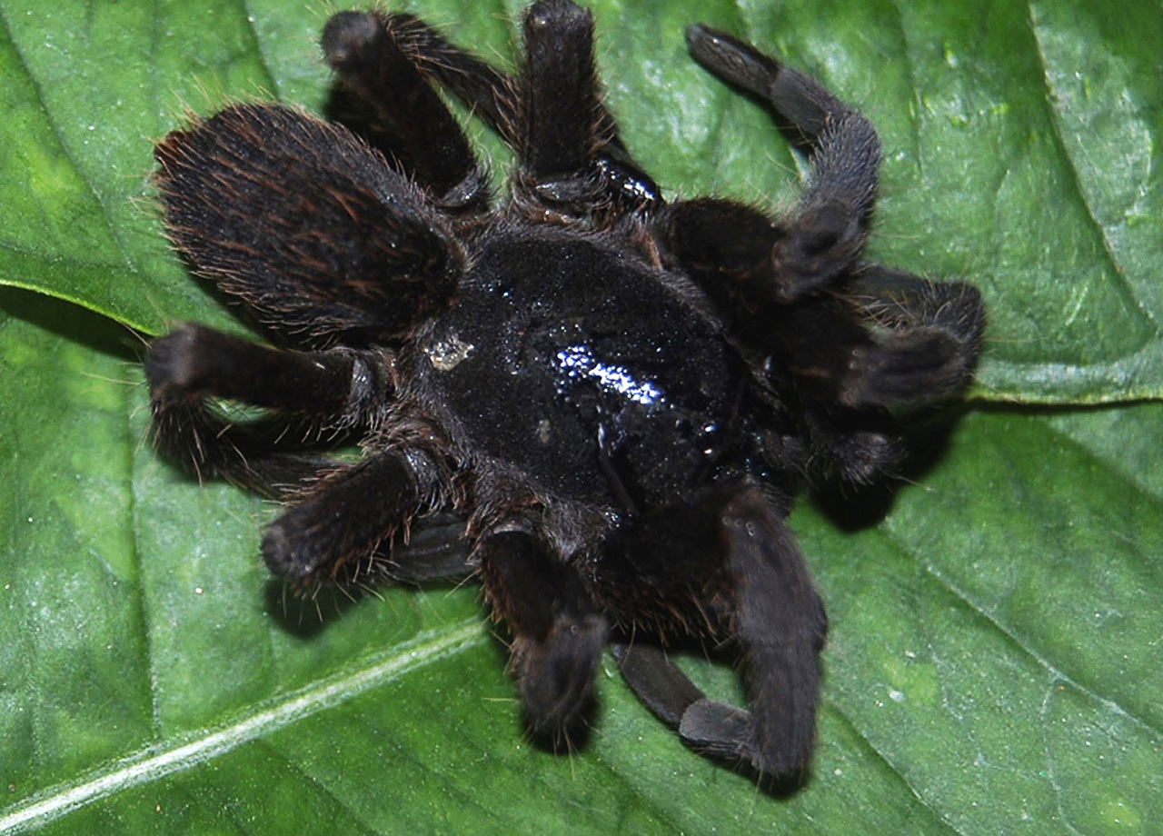 Giant Hairy Spider Attacks Spark Panic In India Cbs News