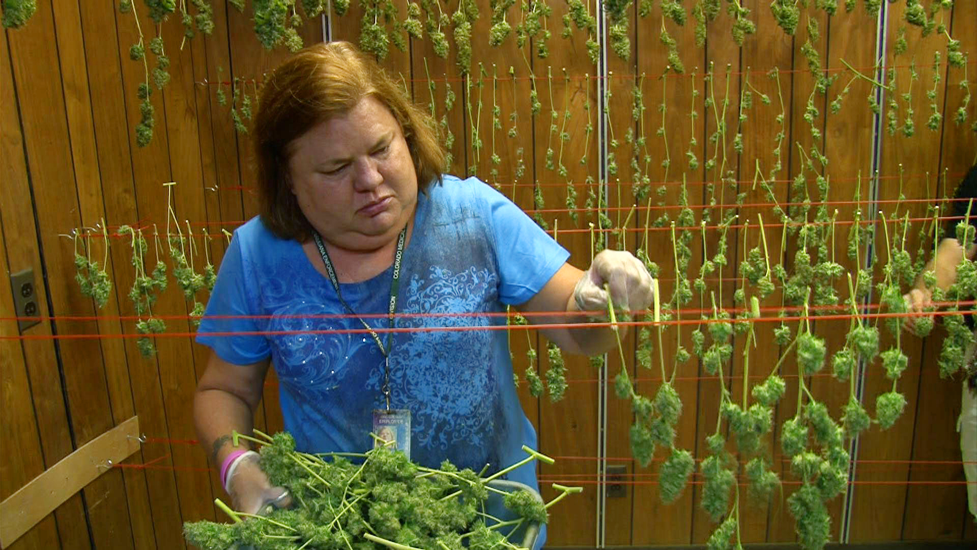 Colo. bid to legalize marijuana leads in polls - CBS News