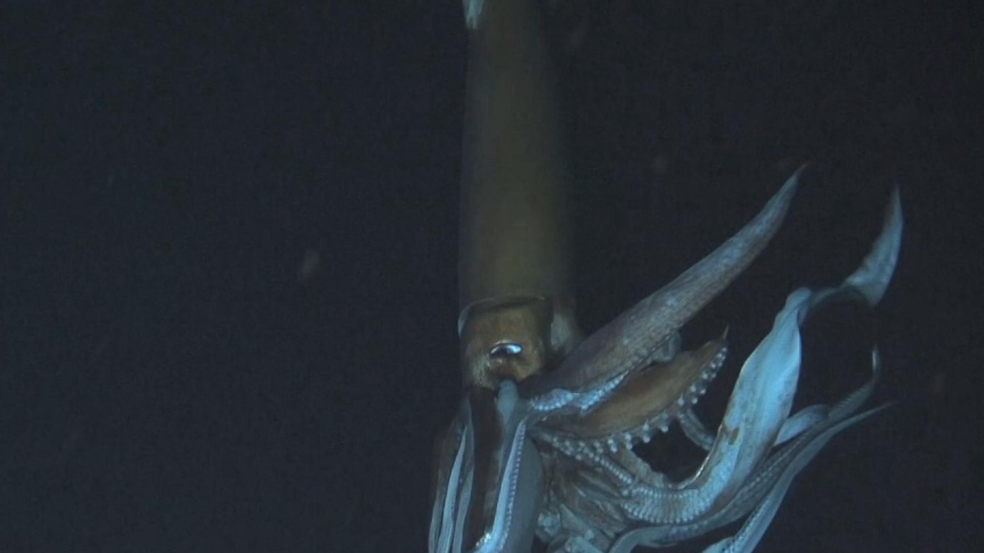 Giant Squid Scientist Talks Deep Ocean Discovery