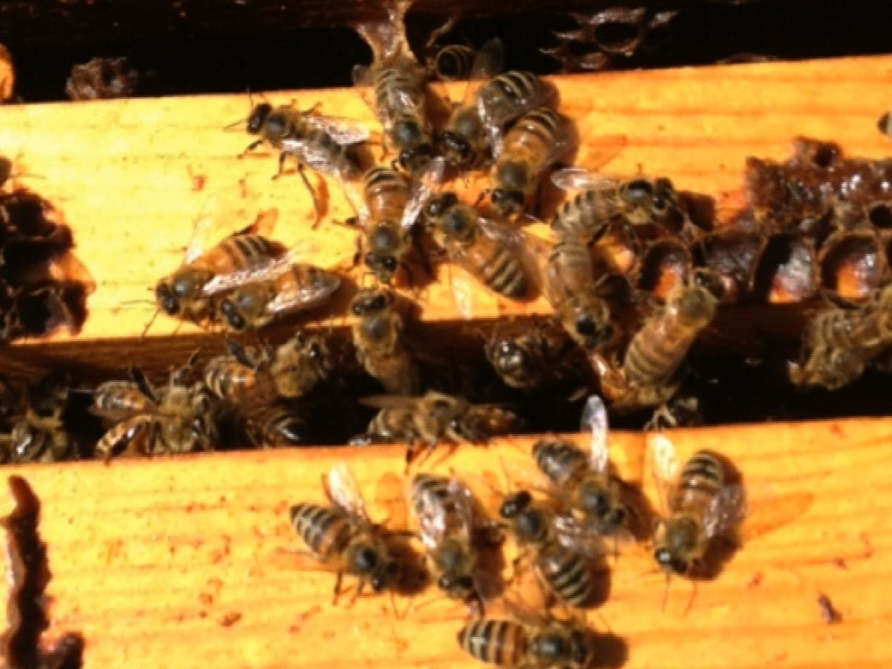 deepening honey bee crisis creates worry over food supply