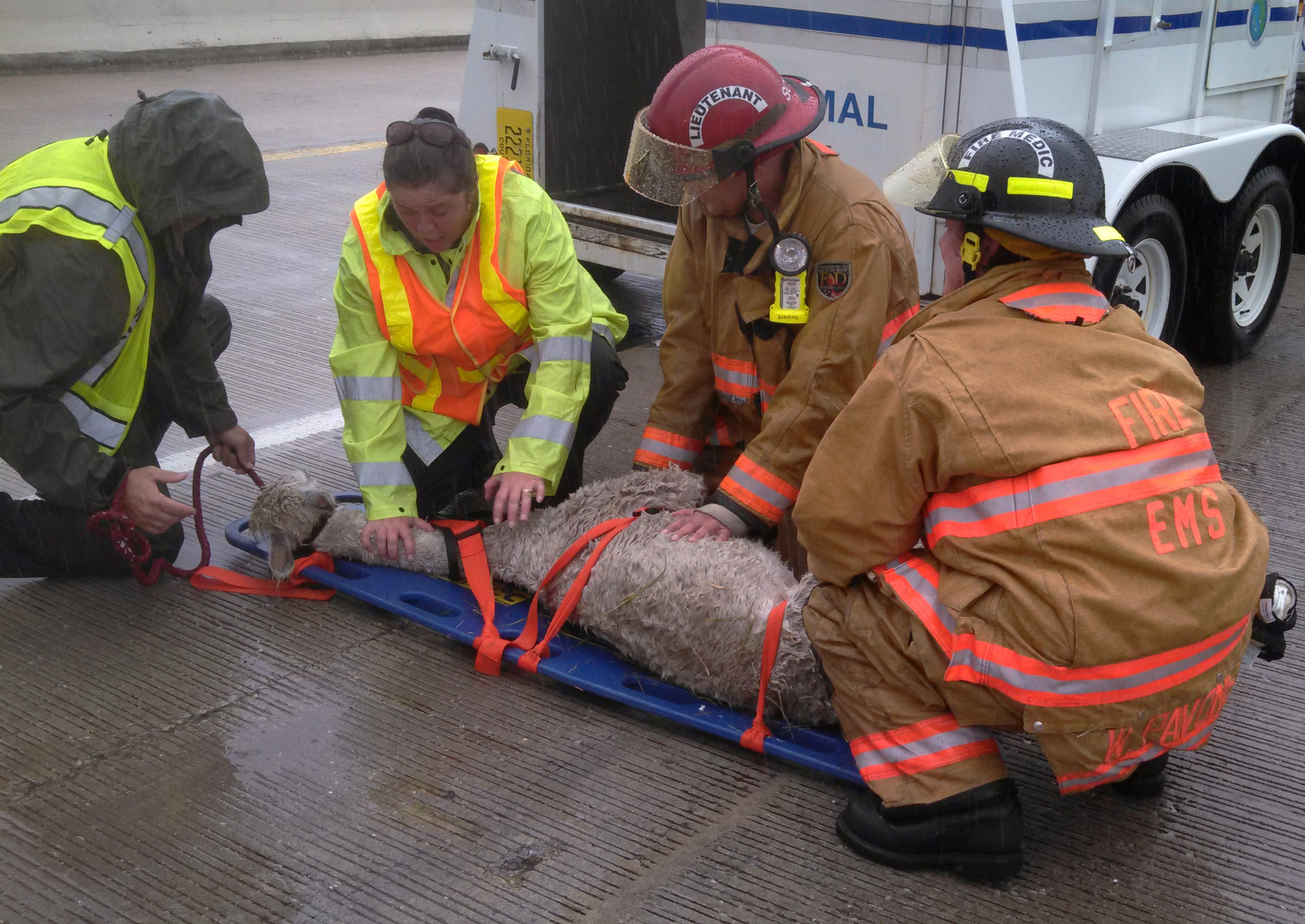Four llamas involved in Florida car crash - CBS News