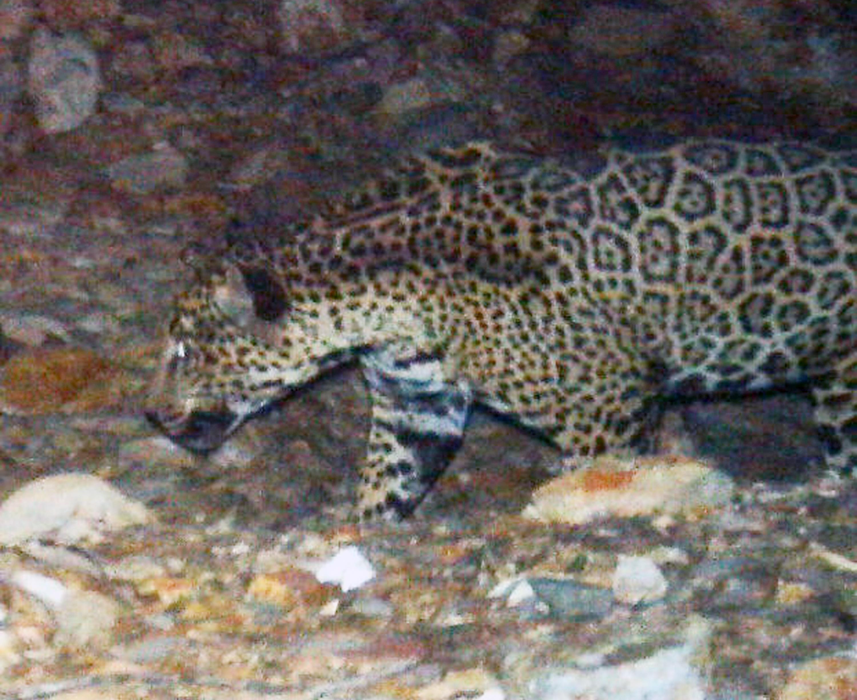 rare jaguar seen roaming southern arizona mountains - cbs news