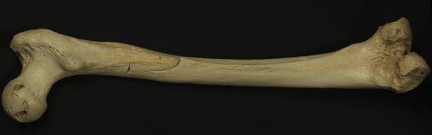 homo-heidelbergensis-thigh-bone_resize2.jpg