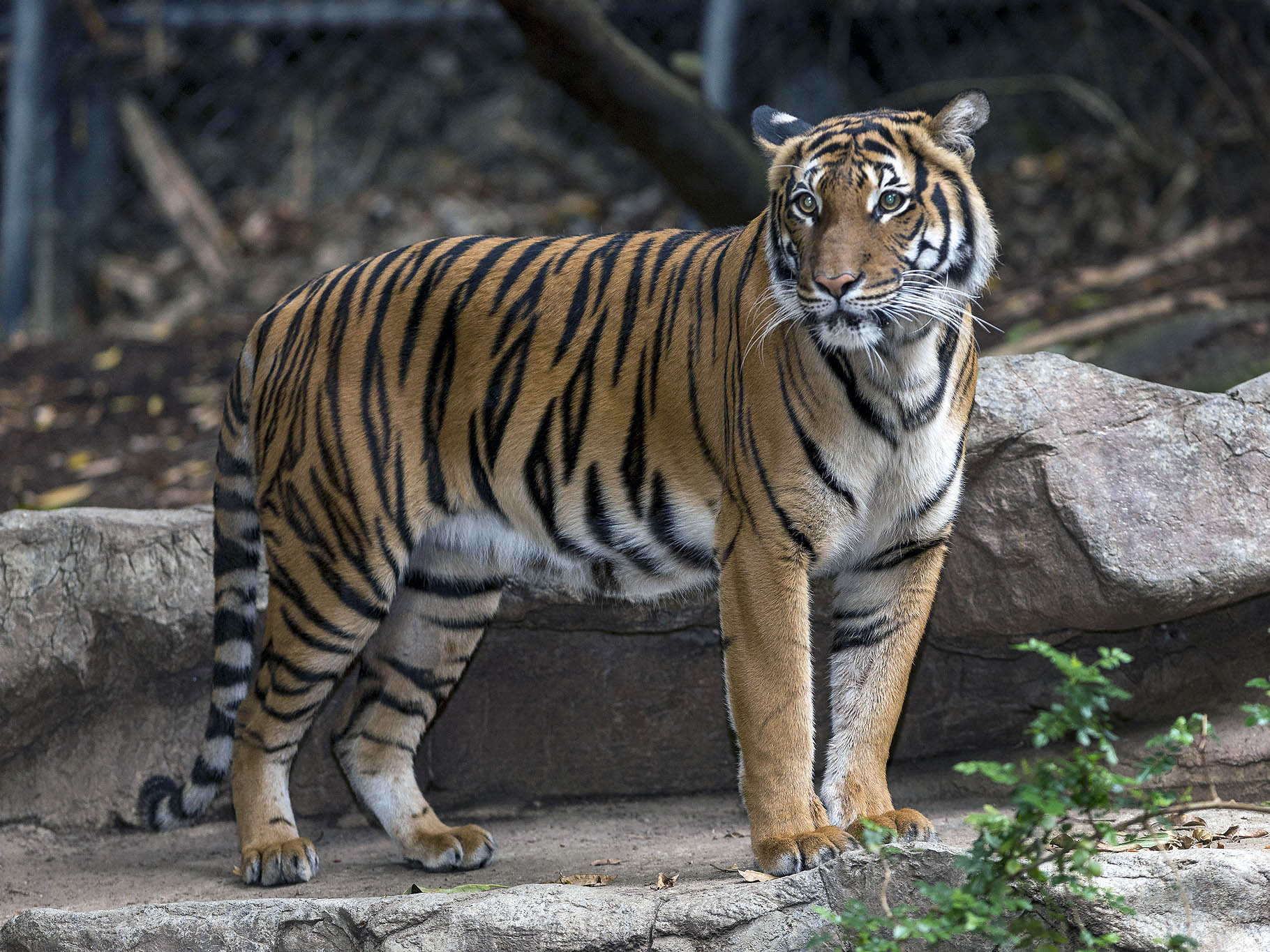 Tiger fatally mauls intended mate at San Diego Zoo - CBS News