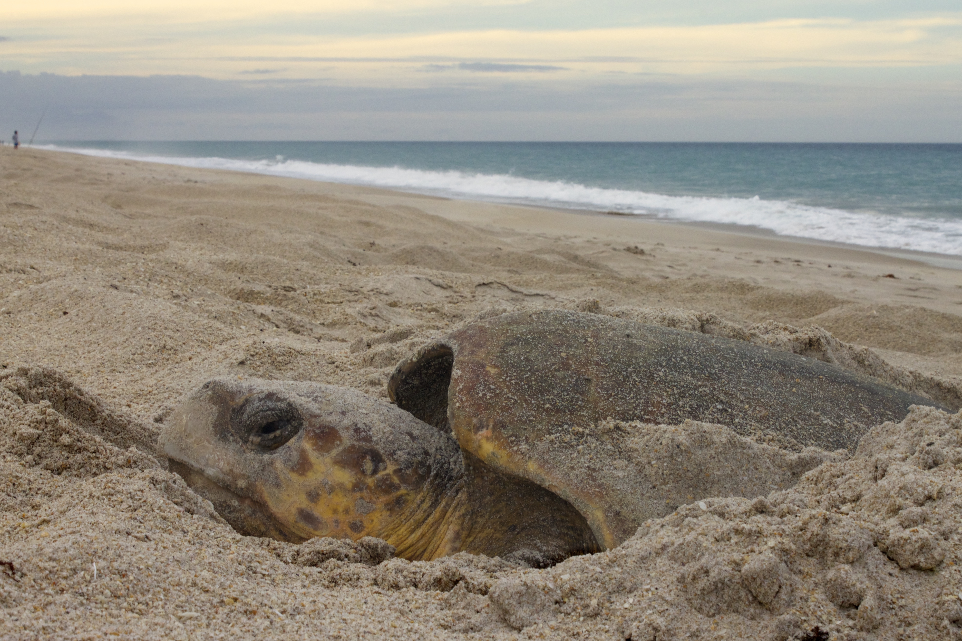 Turtles Laying Eggs On Beach In Florida