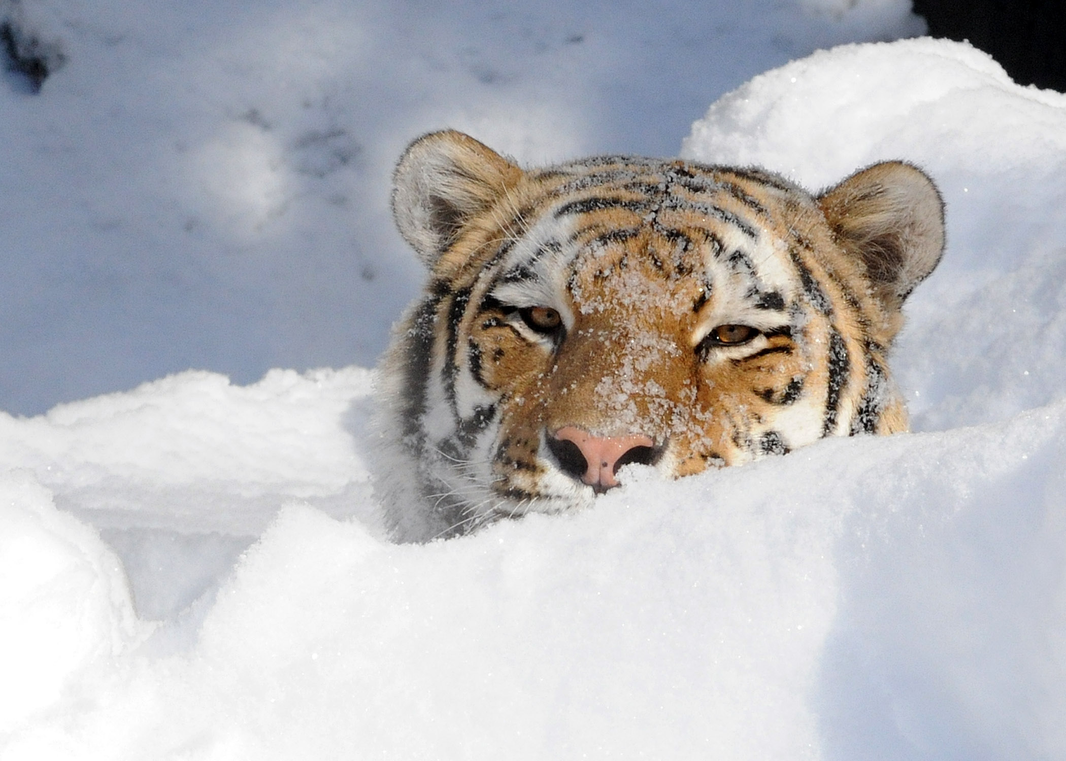 Bison In Snow Bison Wolf And Tiger Play In Snow