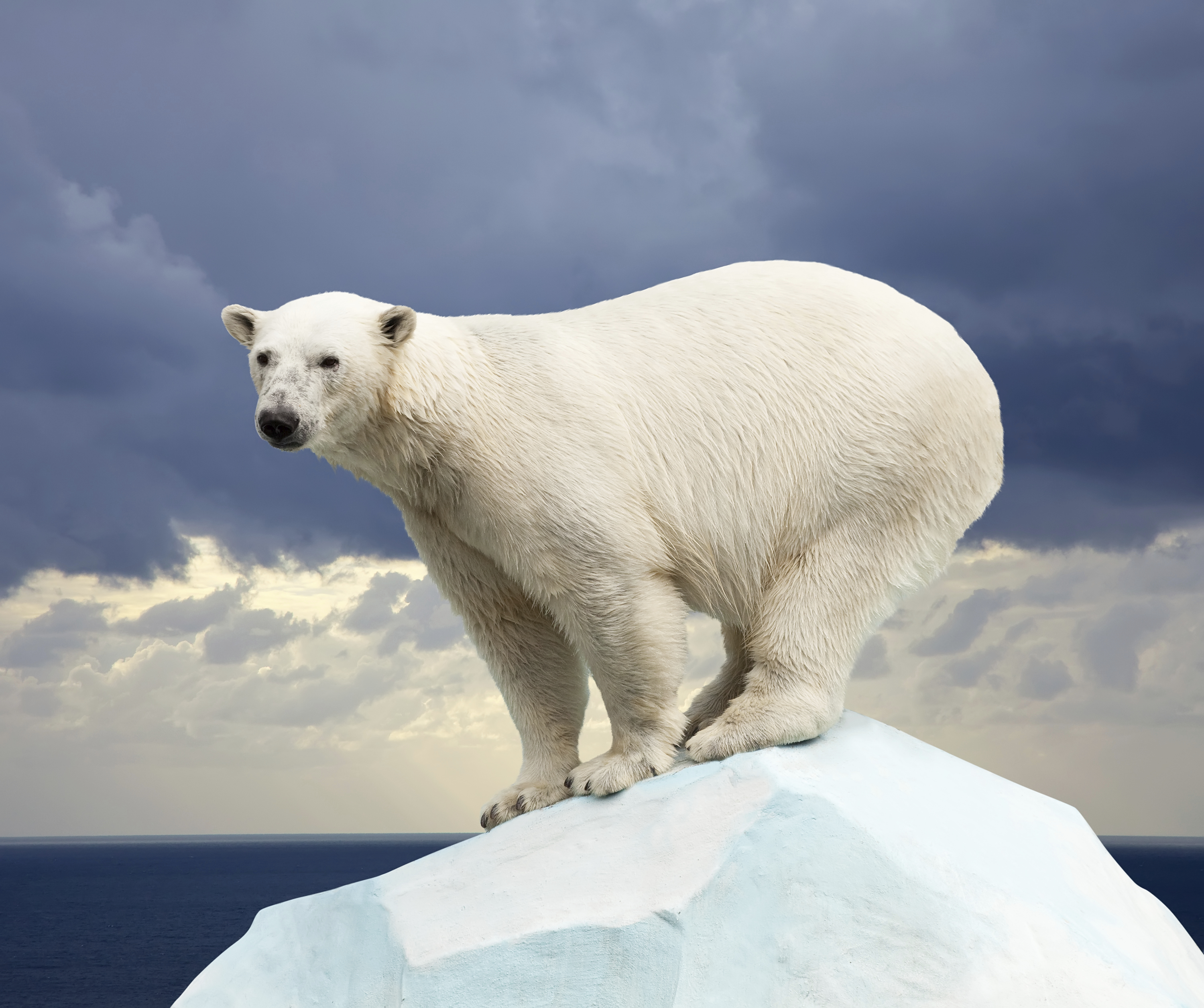 polar bears global warming research papers Businesss research papers (20, 108)  global warming polar bears and marine mammals in the arctic are already threatened by dwindling sea ice but have nowhere.