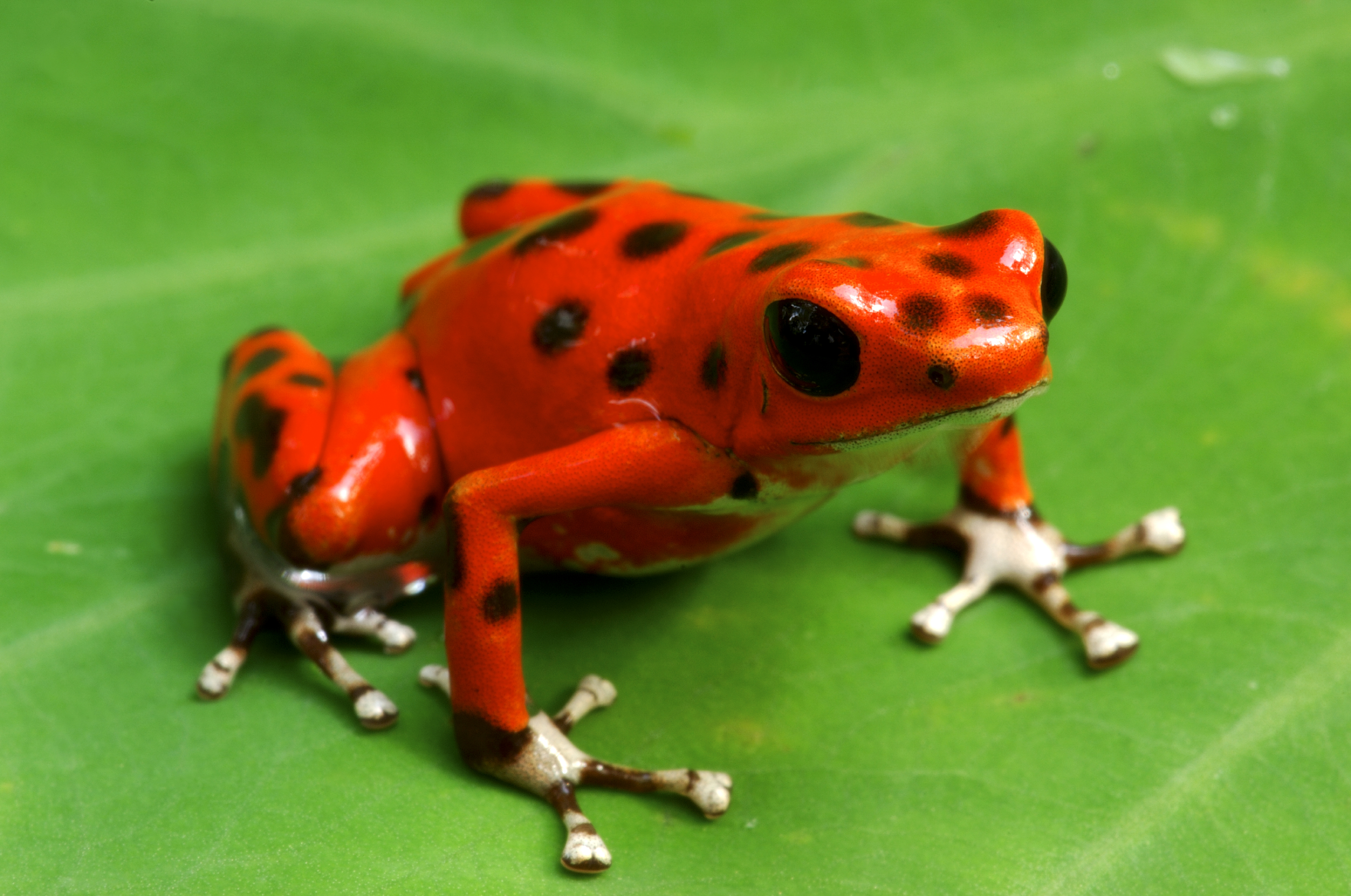 poison dart frog inspires new way to deice planes cbs news