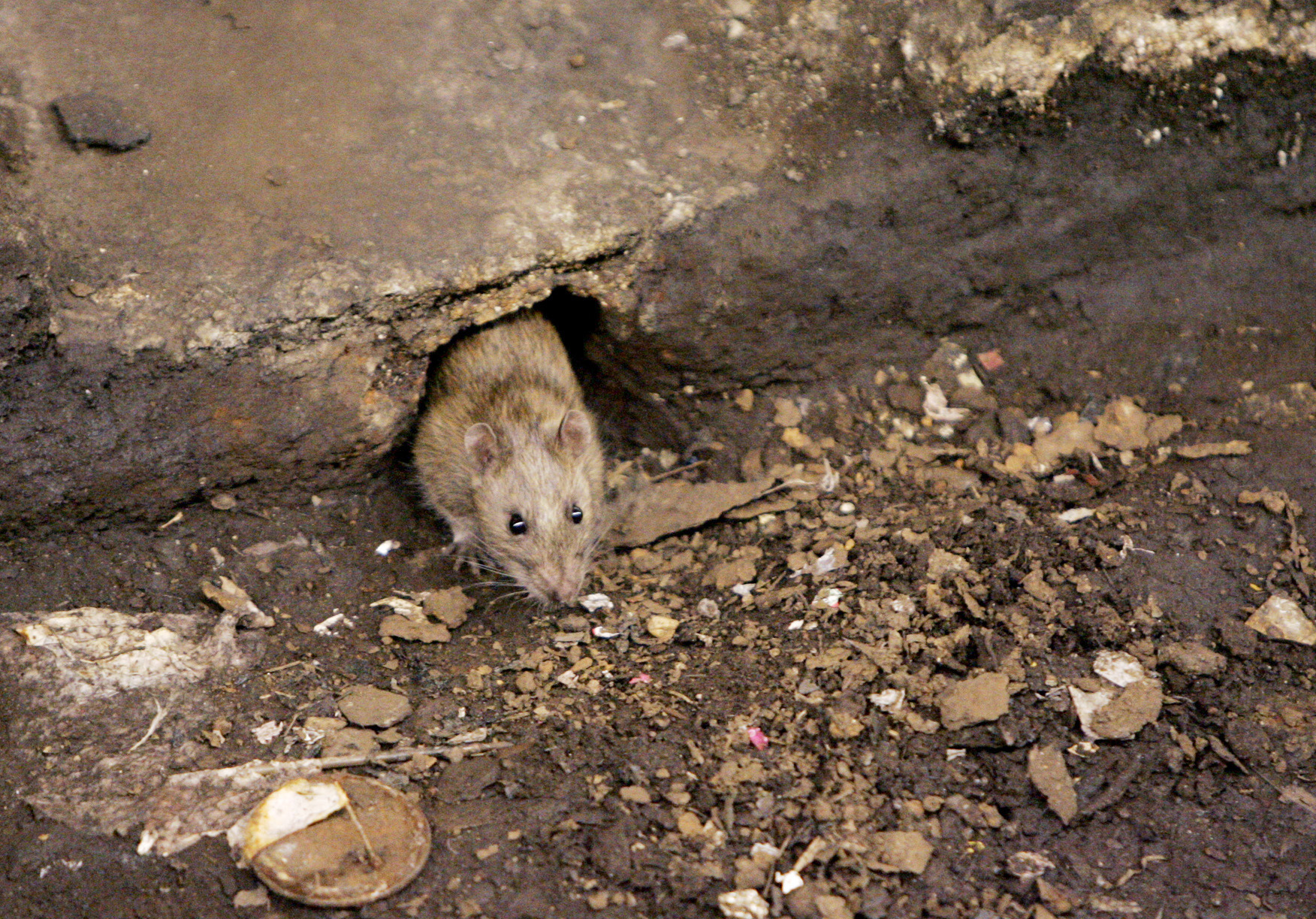 New York City Rats Fleas Could Carry Bubonic Plague Cbs News