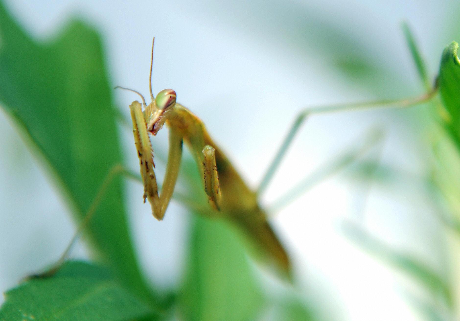 Super slo-mo reveals how the praying mantis avoids a crash landing ...