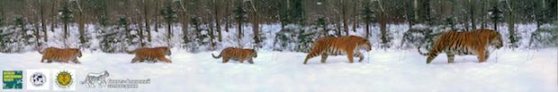 tiger-photo2.jpg