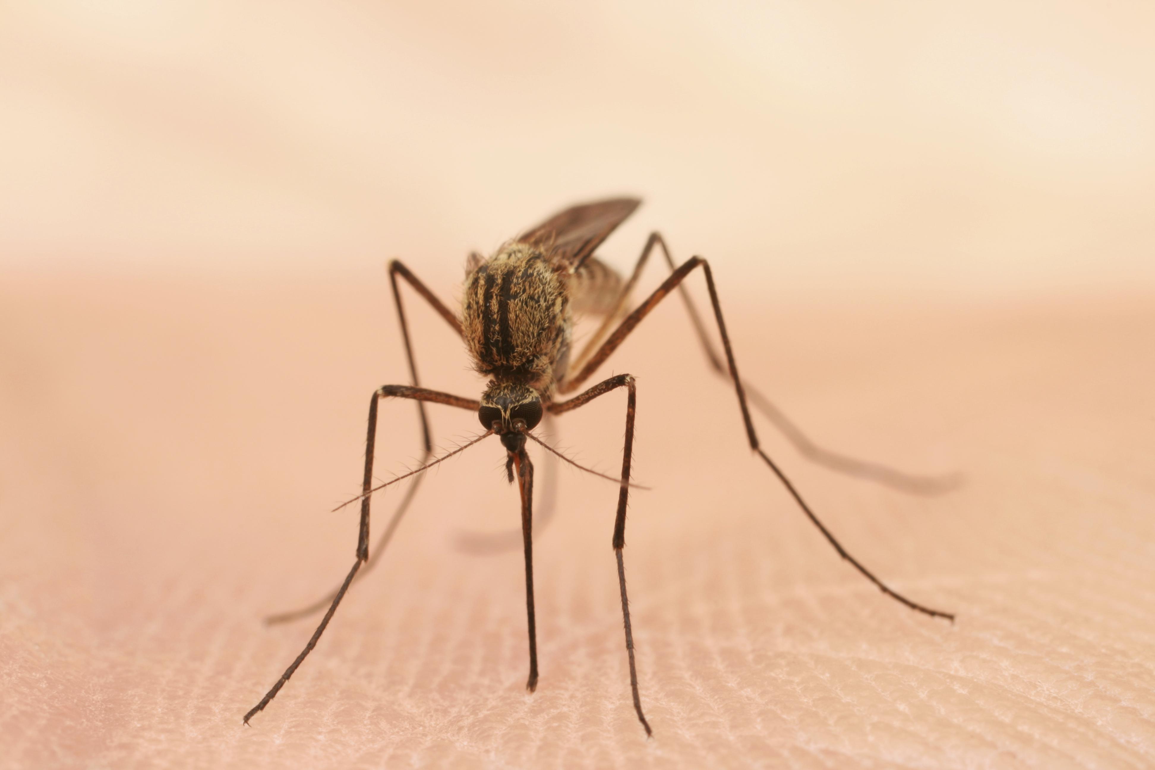 Mosquito Borne Chikungunya Virus Can Cause Brain Swelling Death