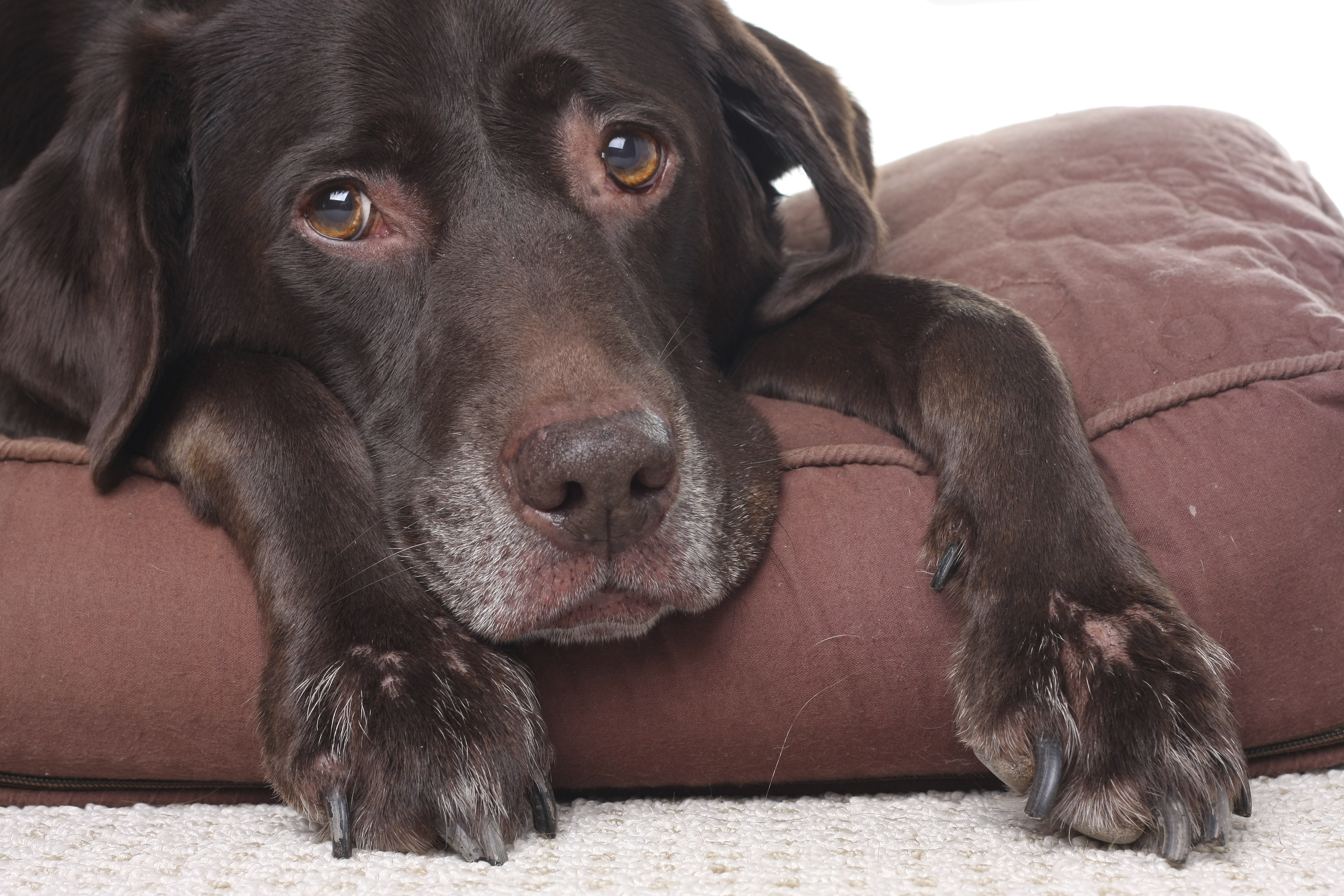 Anxiety May Give Dogs Gray Hair