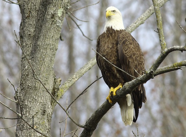 Bald Eagles Back In New York City After A Century Cbs News
