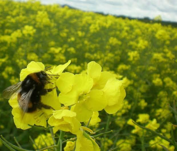 bombus-terrestris-on-osr.jpg