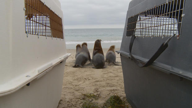 sea-lion-pup-release-01-620.jpg