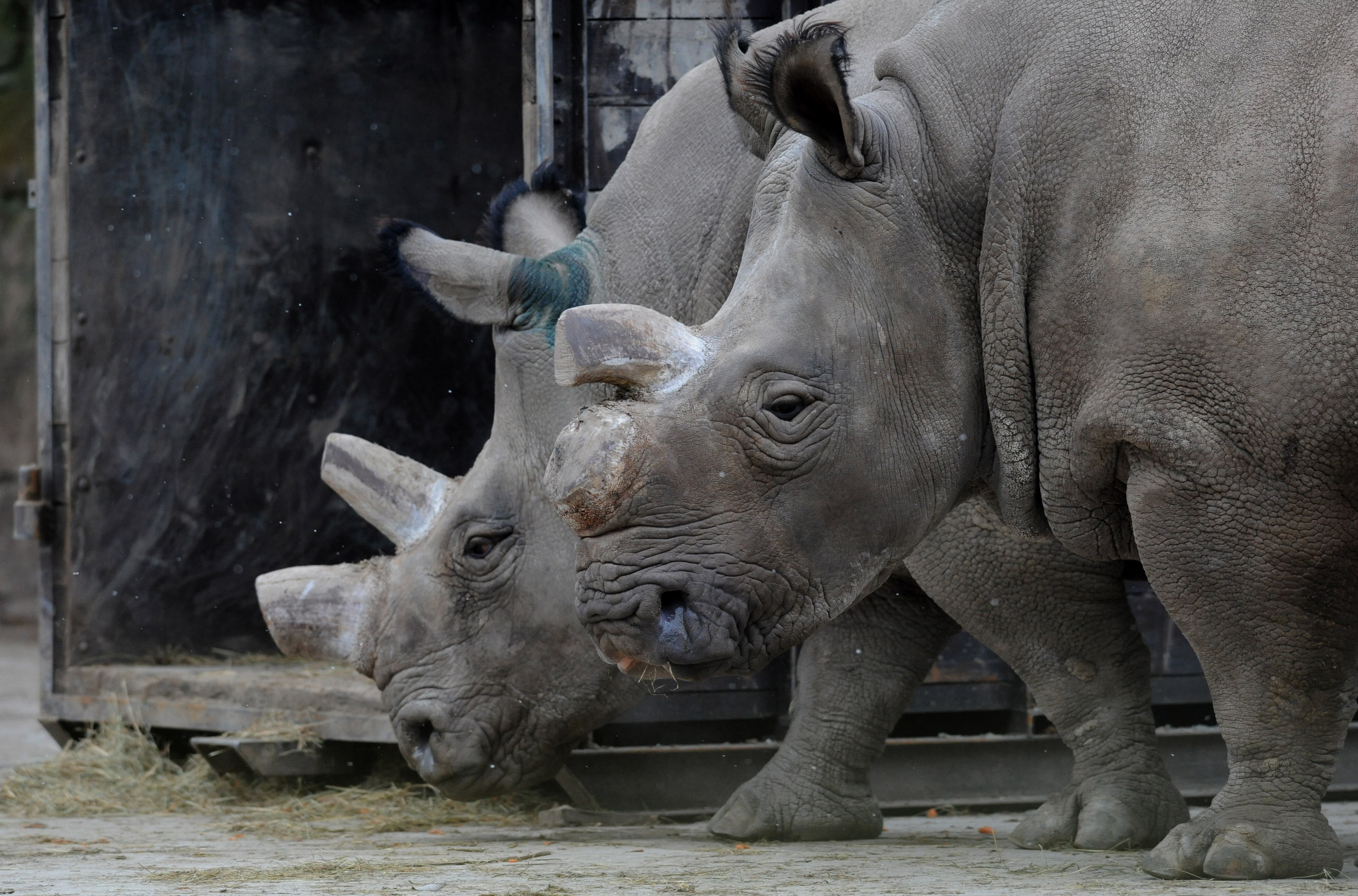 Critically endangered northern white rhino dies at Czech zoo
