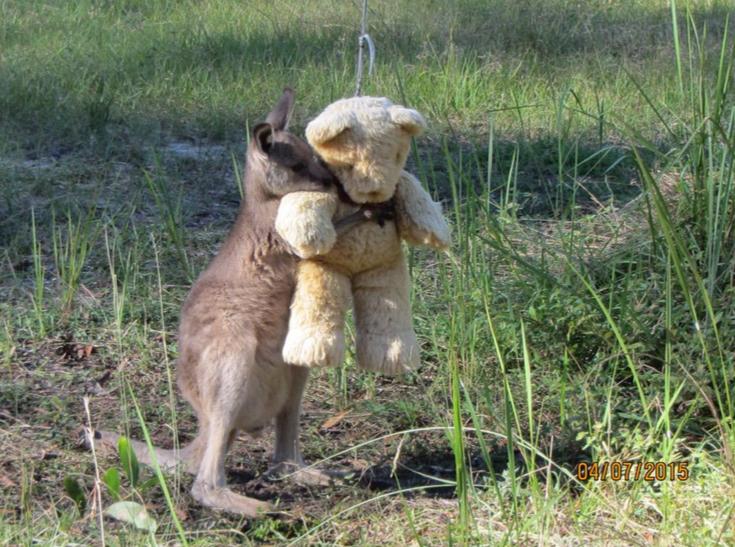 timeless design c84b1 fd417 Doodlebug the orphaned baby kangaroo loves to hug his teddy ...