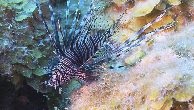 lionfish-cbs-620.jpg