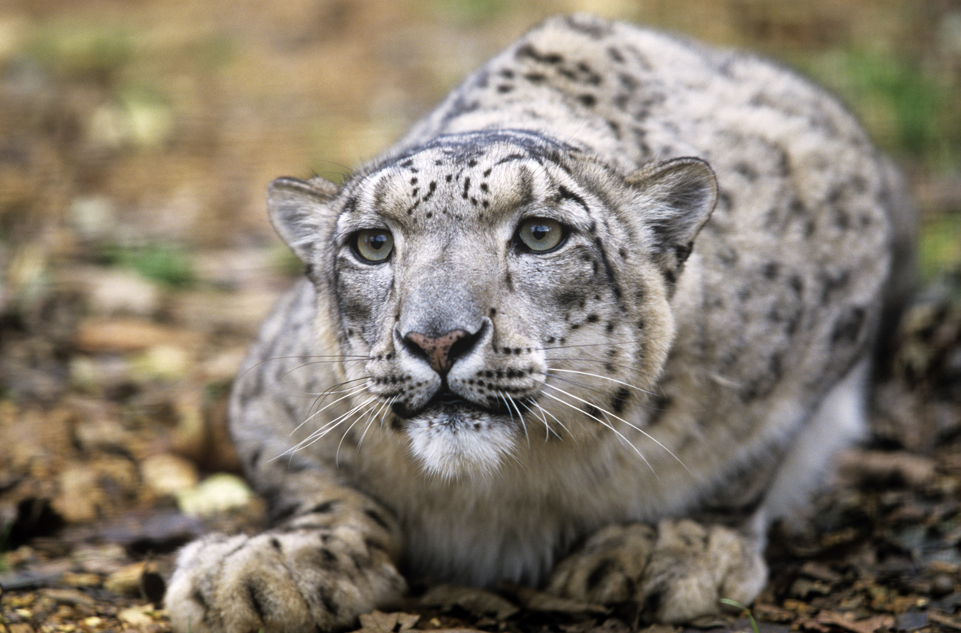The Study Of Big Cats