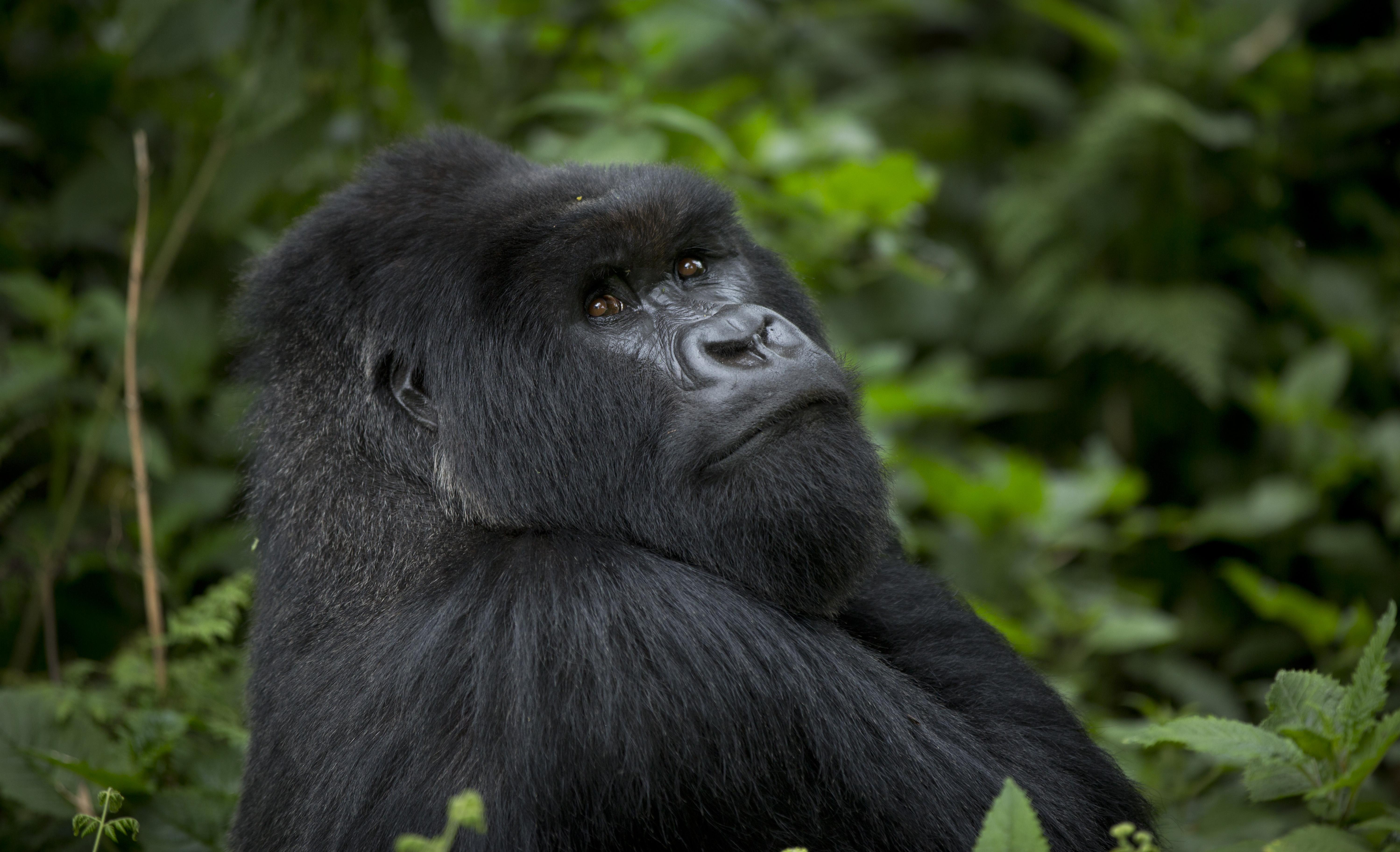 Rwanda's mountain gorillas - Conservation tourism - a ...
