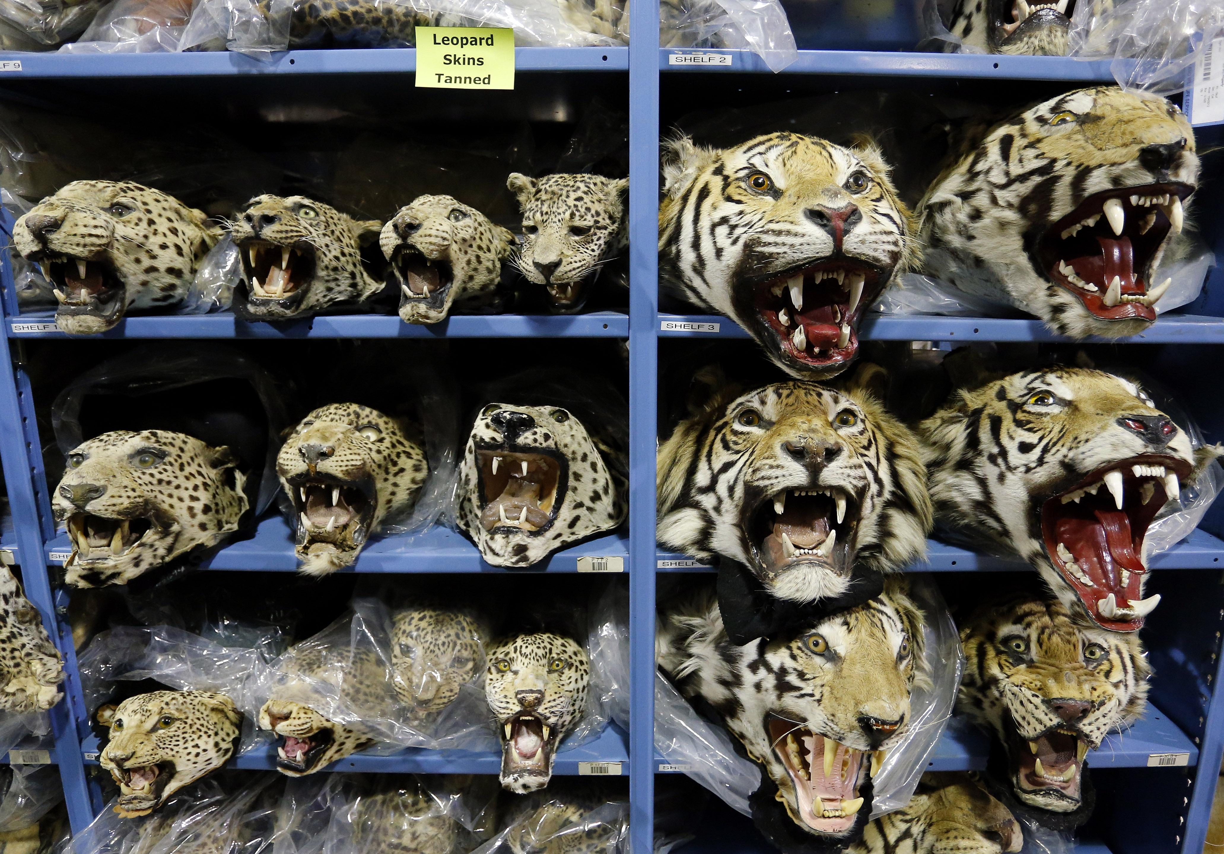 Global Trafficking In Endangered Animals Endangered