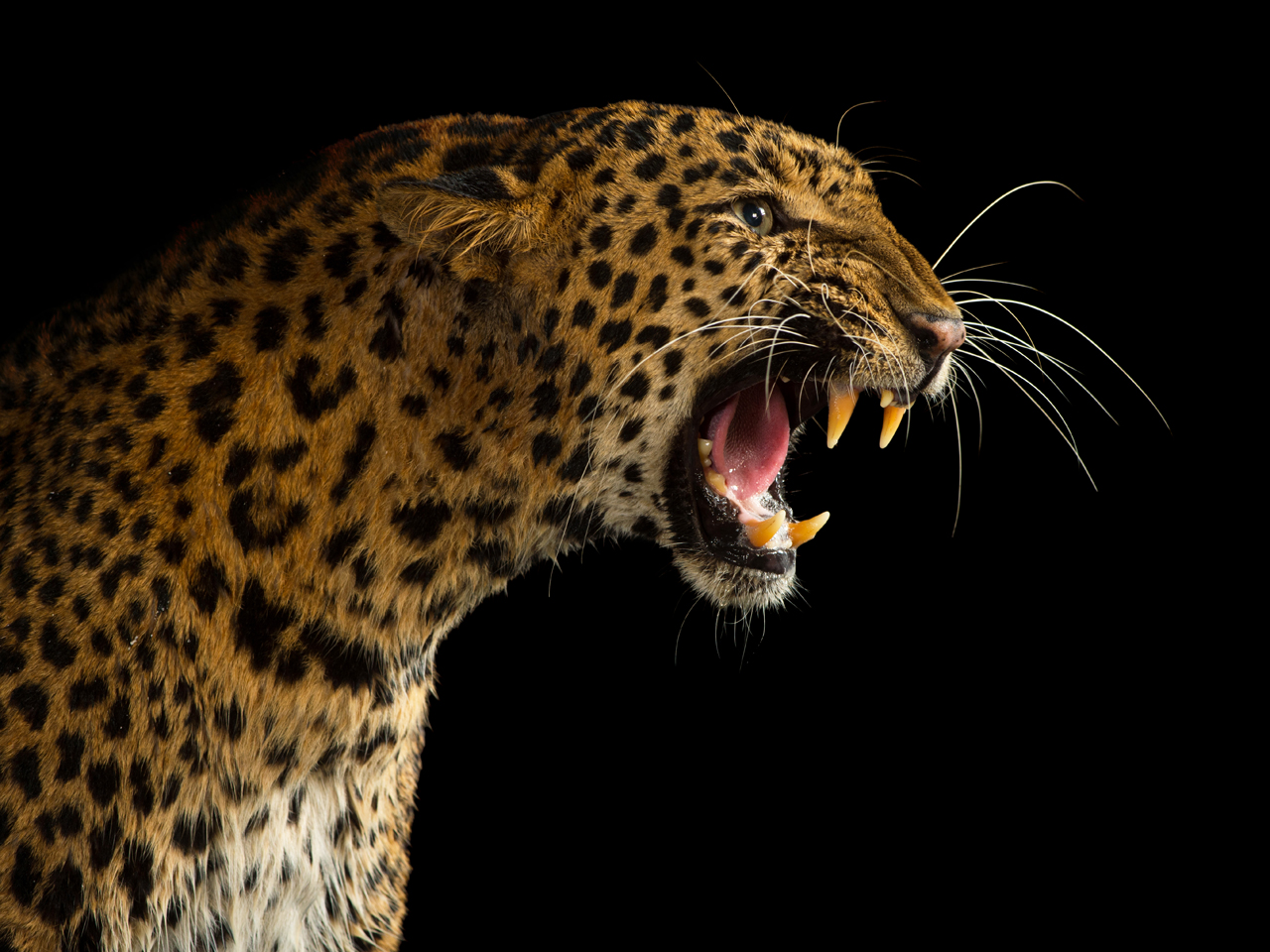 India leopards kill children in attacks on rural villages