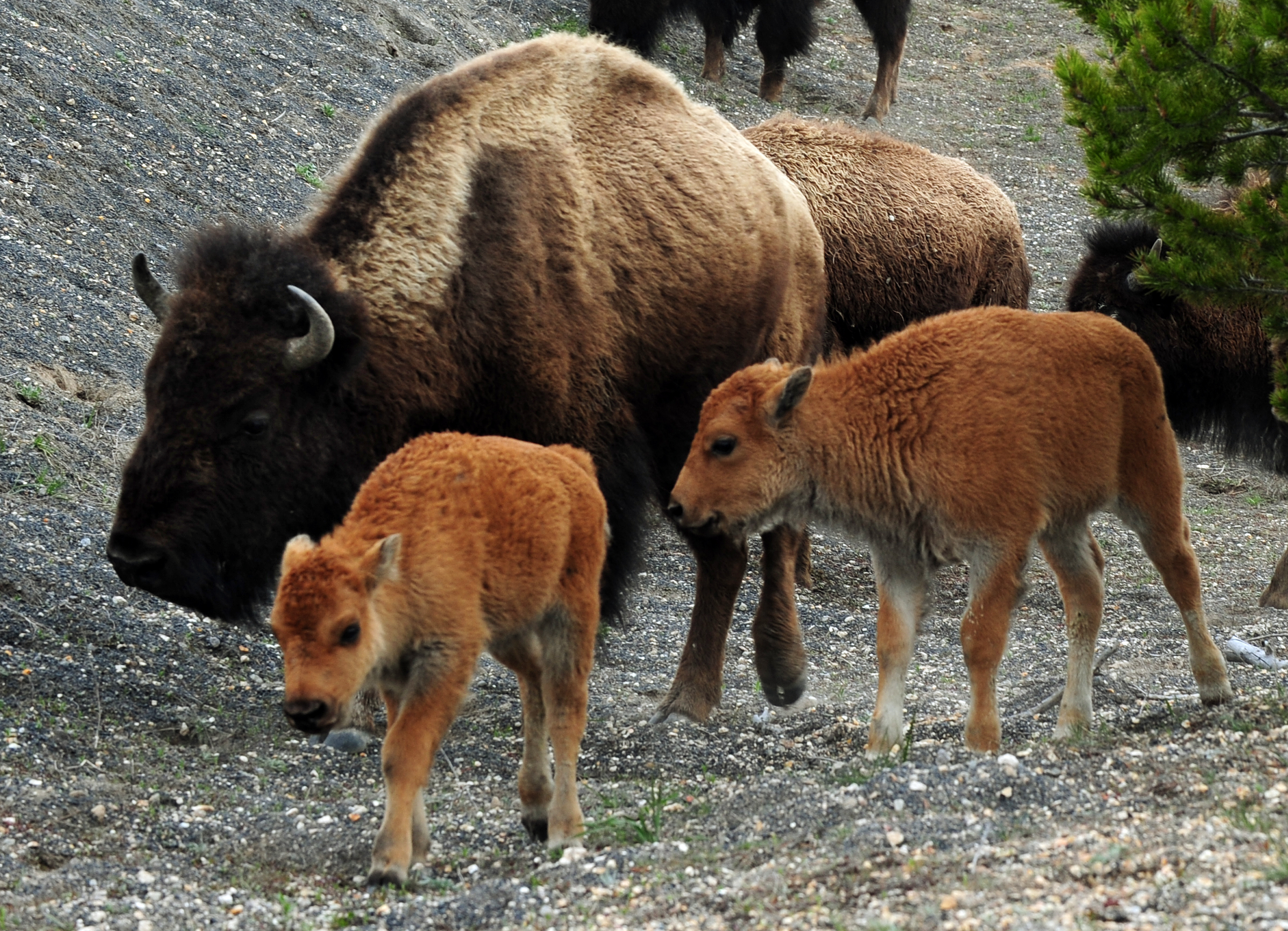 Wyoming tribe marks return of buffalo after a century - CBS News