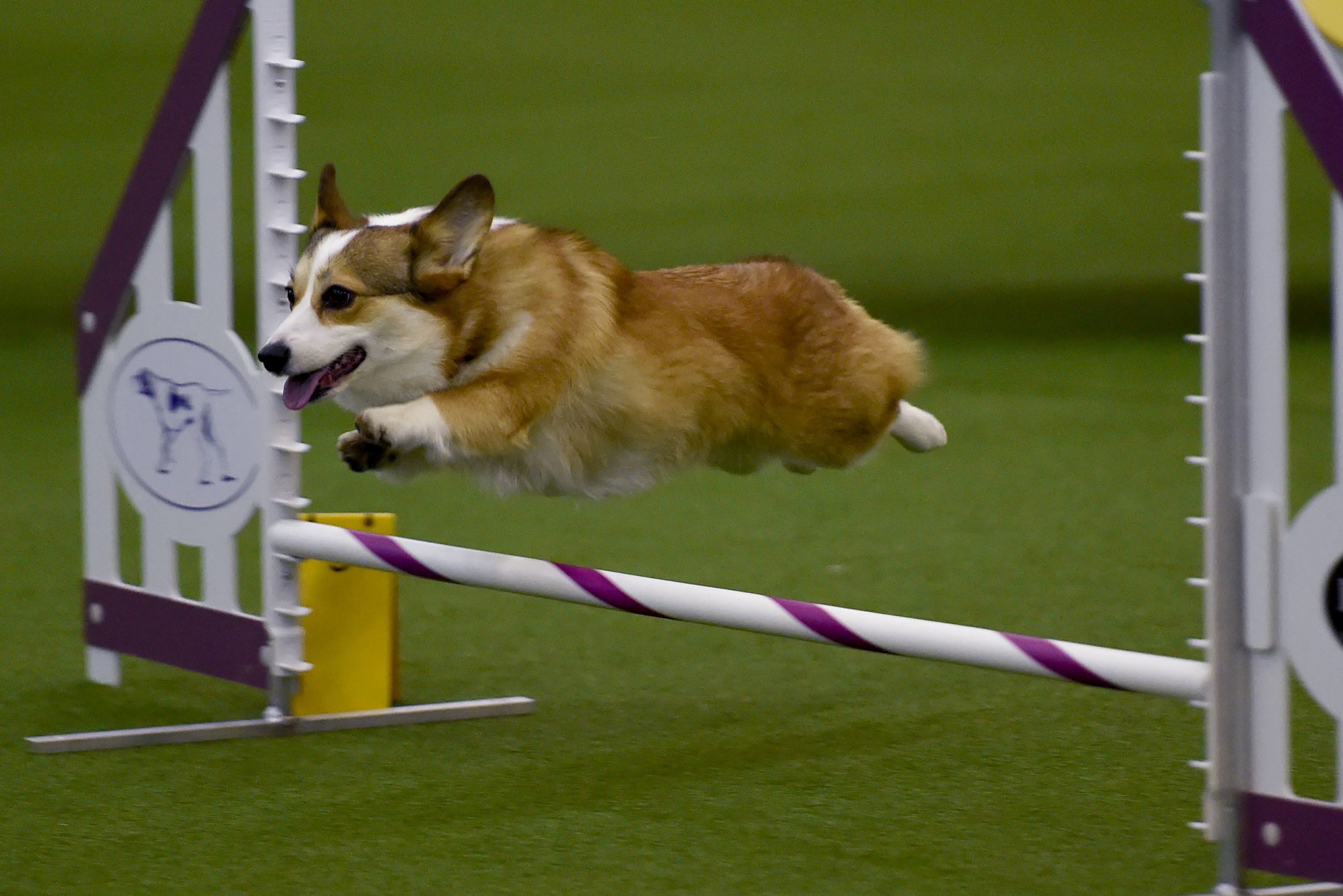 Westminster Dog Show 2020 Winner.Which Dog Won Westminster S Agility Title Cbs News