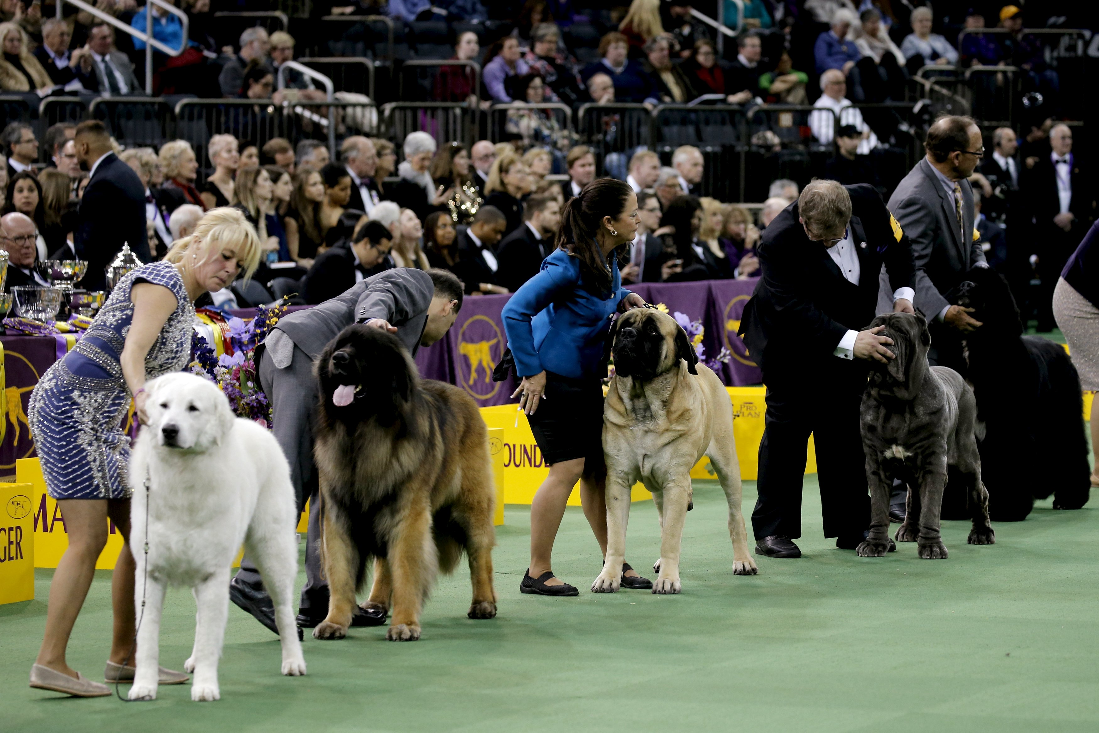 Watch Live Dog Show New Westminster