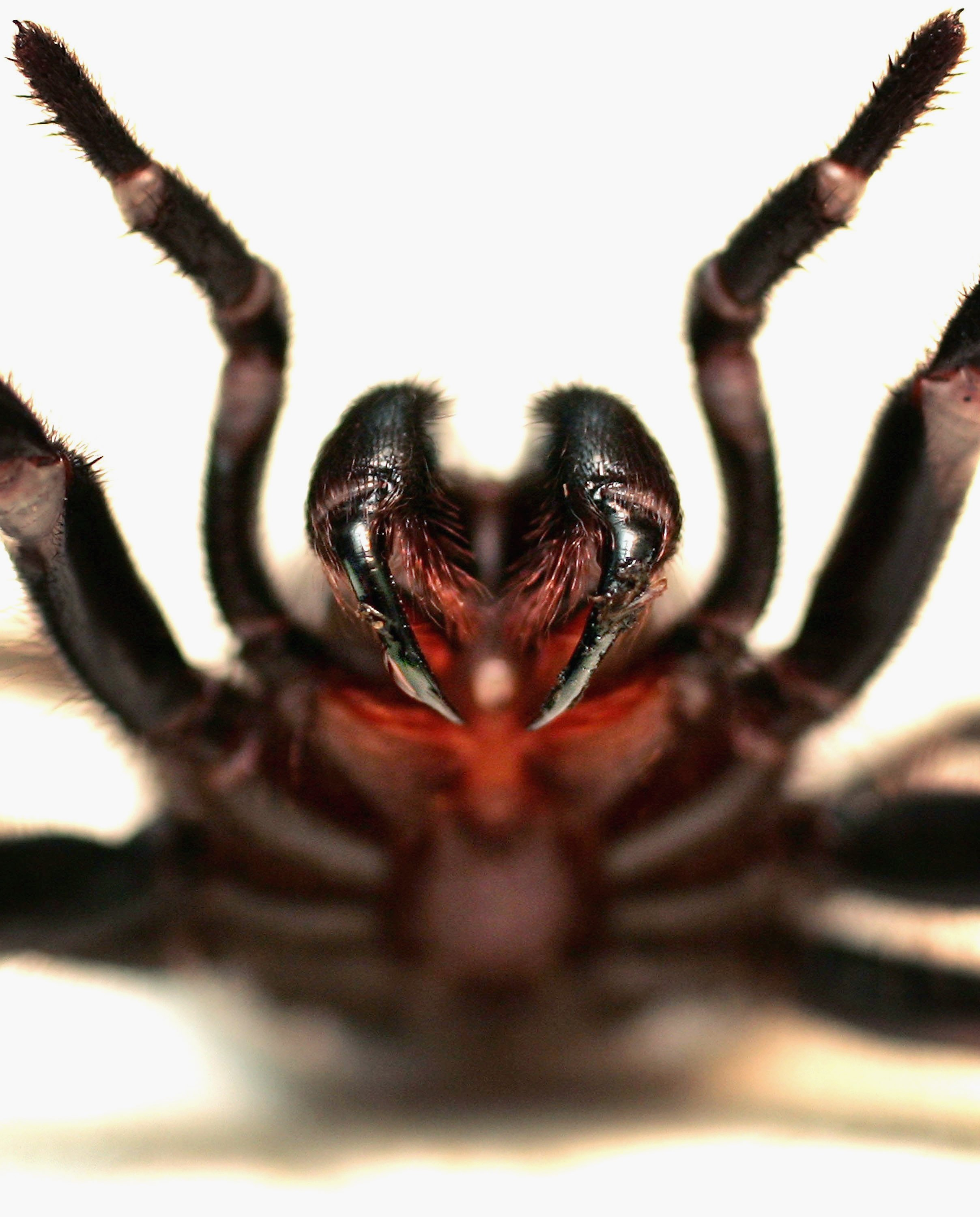 13 spider in black the world u0027s most dangerous spiders warning