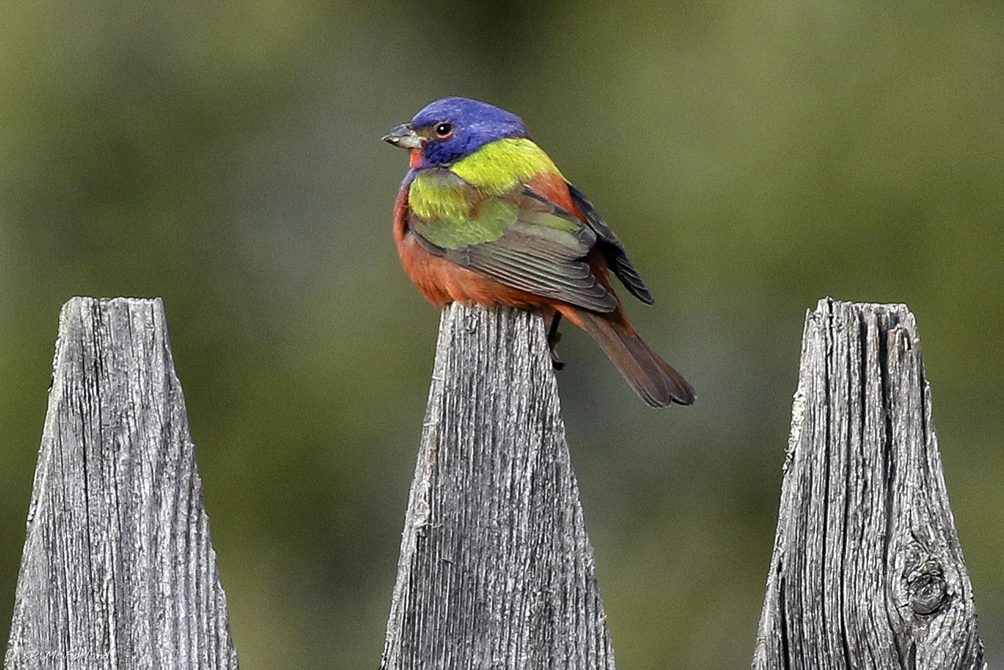 bird watchers flock to vermont for glimpse of rainbow colored bird cbs news. Black Bedroom Furniture Sets. Home Design Ideas