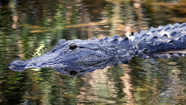 Things To Know About Florida S Alligators Cbs News
