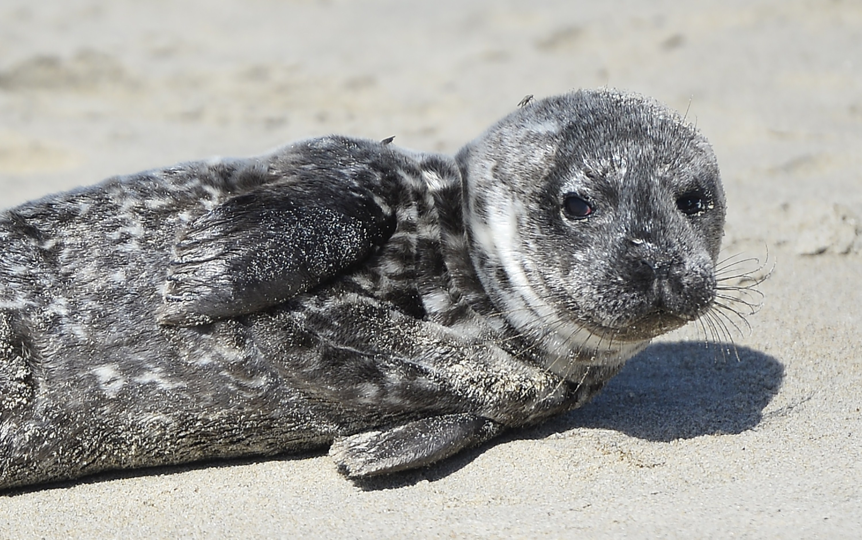 Officials: Don't touch or pick up seal pups - CBS News