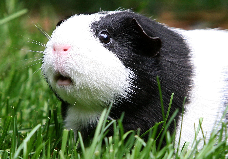 Guinea pigs can harbor a hidden health hazard - CBS News
