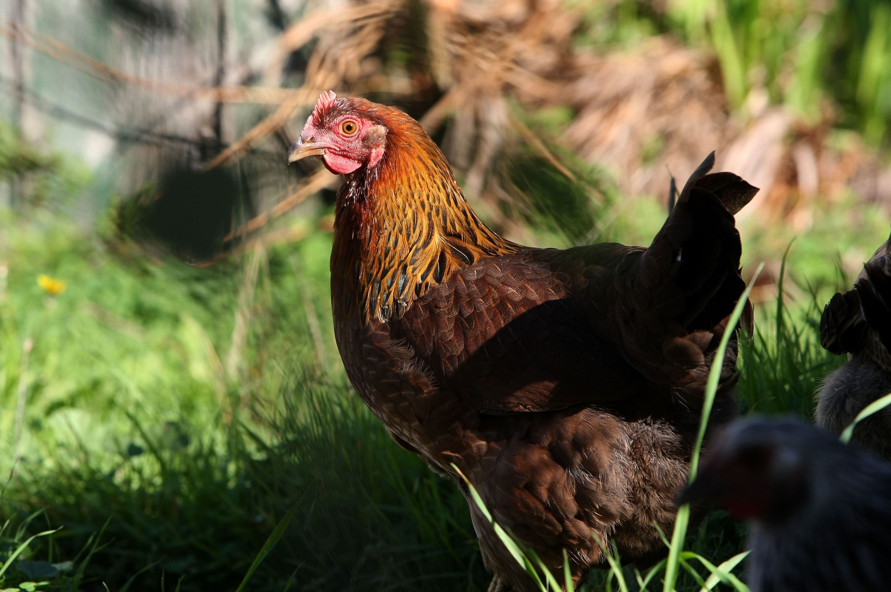 hundreds sickened by salmonella from pet chickens and ducks cbs news