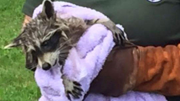 Police in Mass  help free raccoon with head stuck in sewer