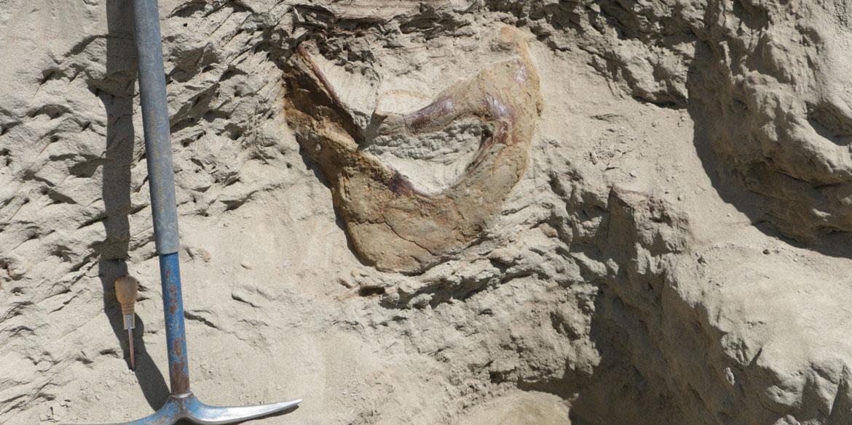 Rare T Rex Skull Lands At Seattle Museum Cbs News