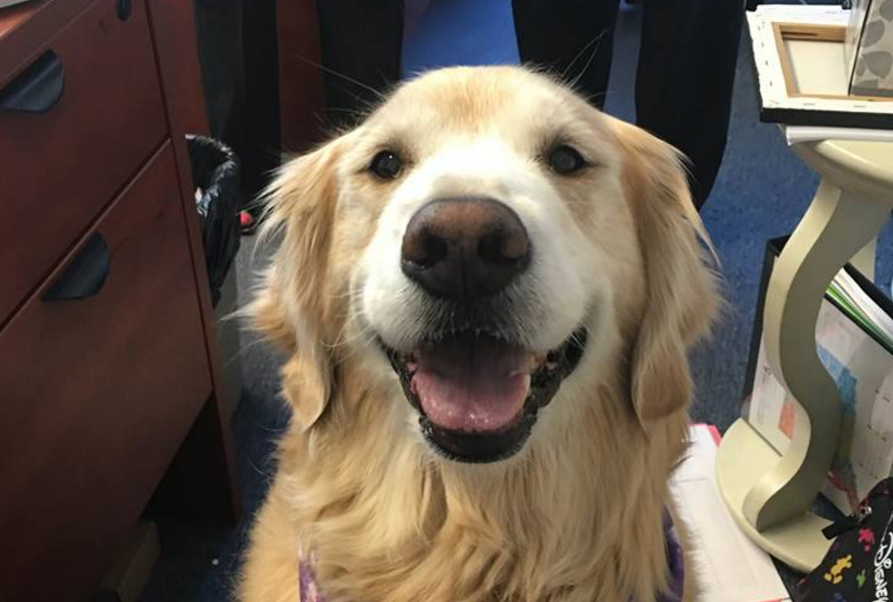 This Smiling Golden Retriever Is A One Of A Kind Therapy Dog Cbs News