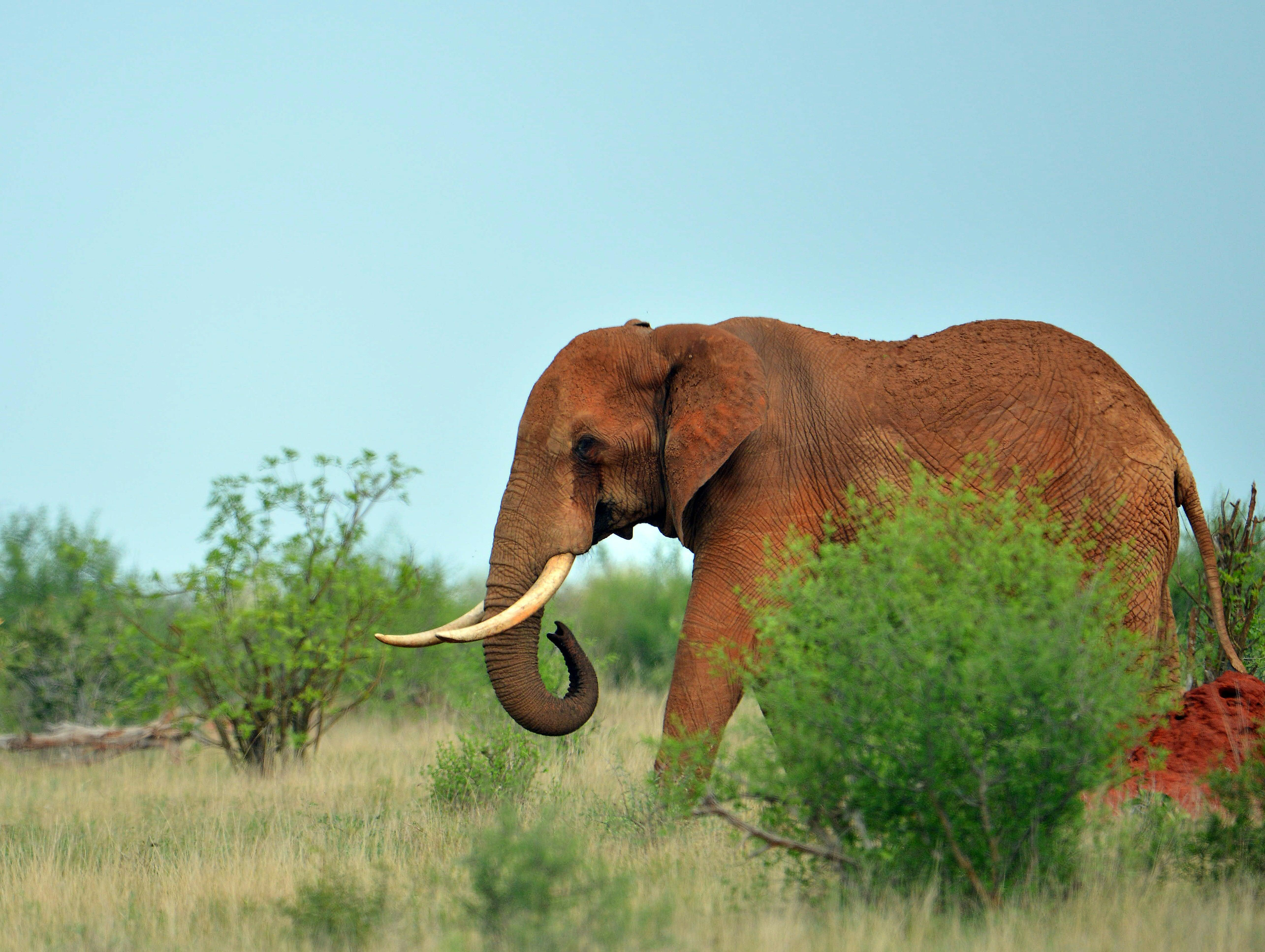 Trump lifts ban on import of elephant trophies