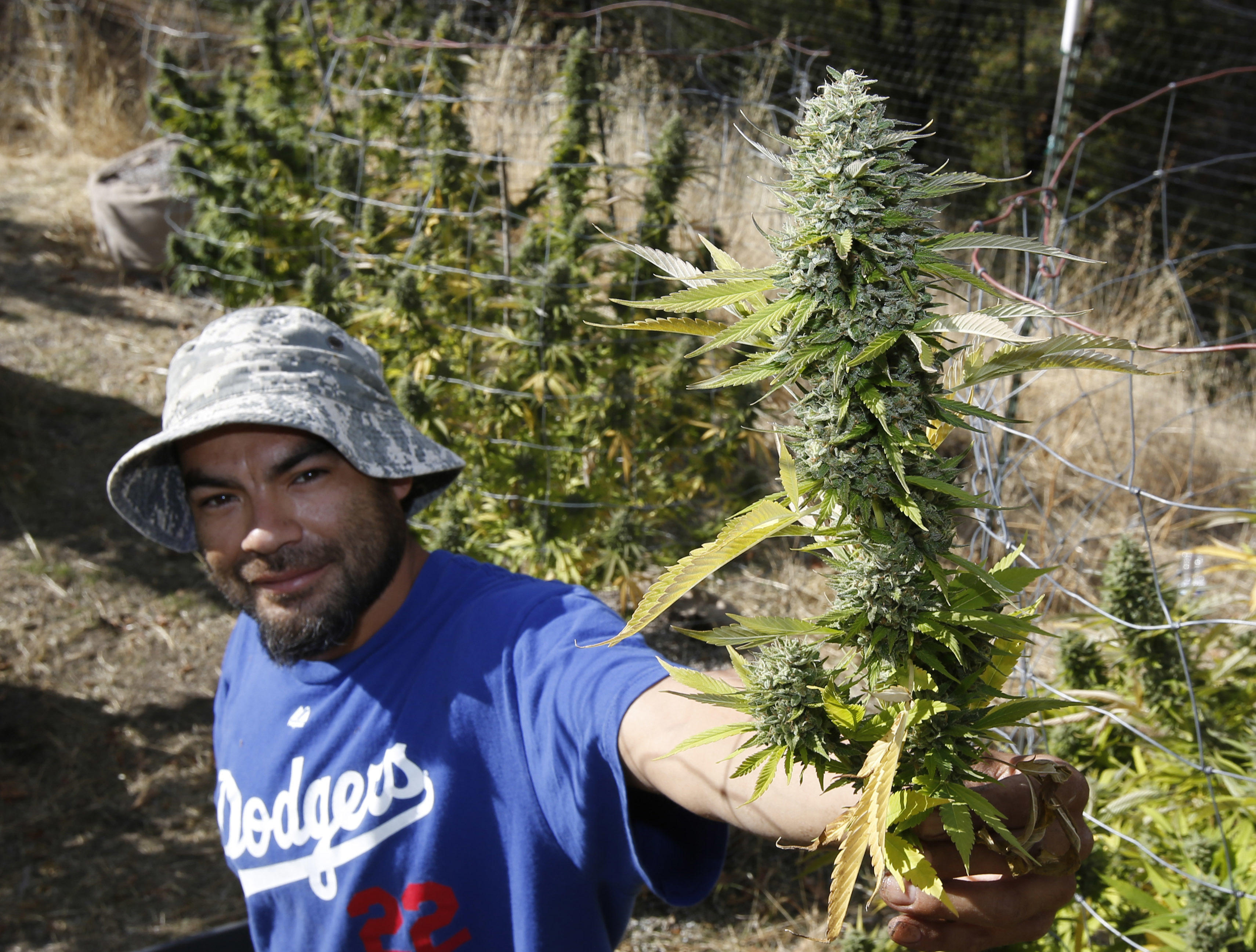 Not all California marijuana farmers want pot legalized - CBS News d5fb58506cec