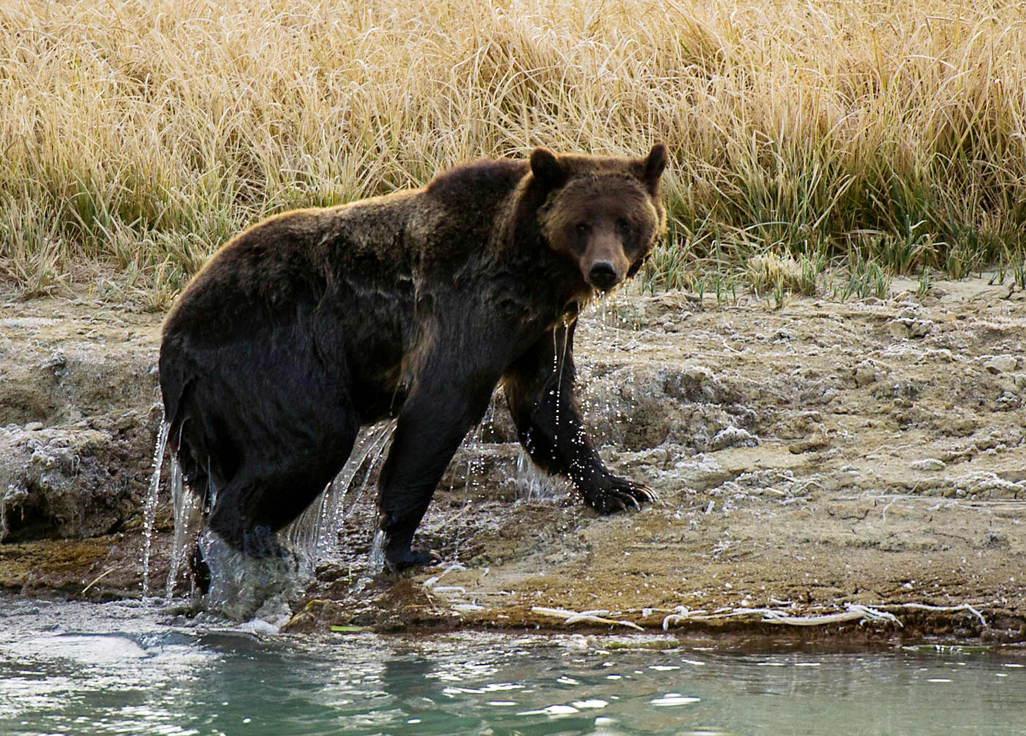 grizzly bear attacks - HD3528×2531