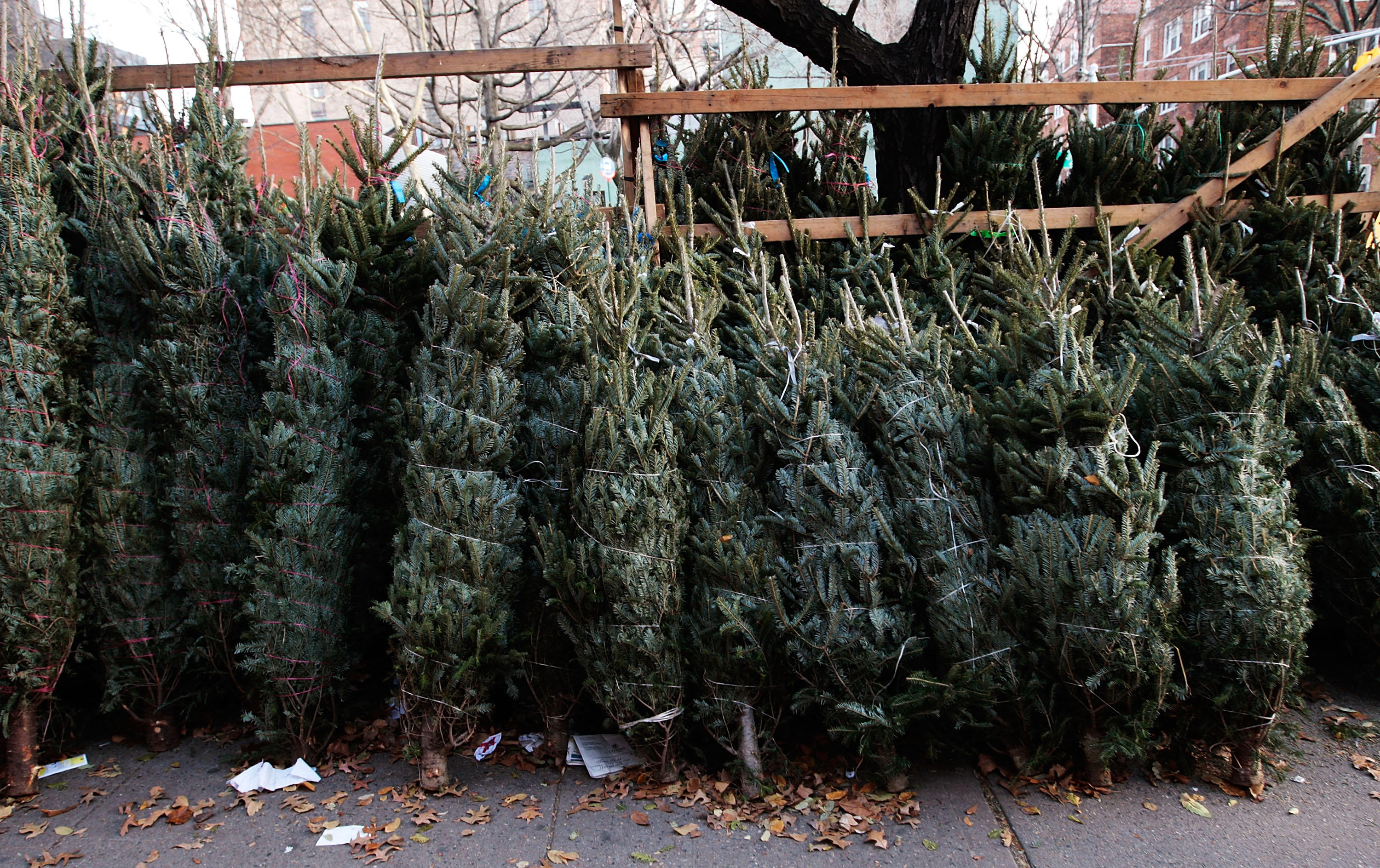 want a real christmas tree start looking now cbs news - Sales On Christmas Trees