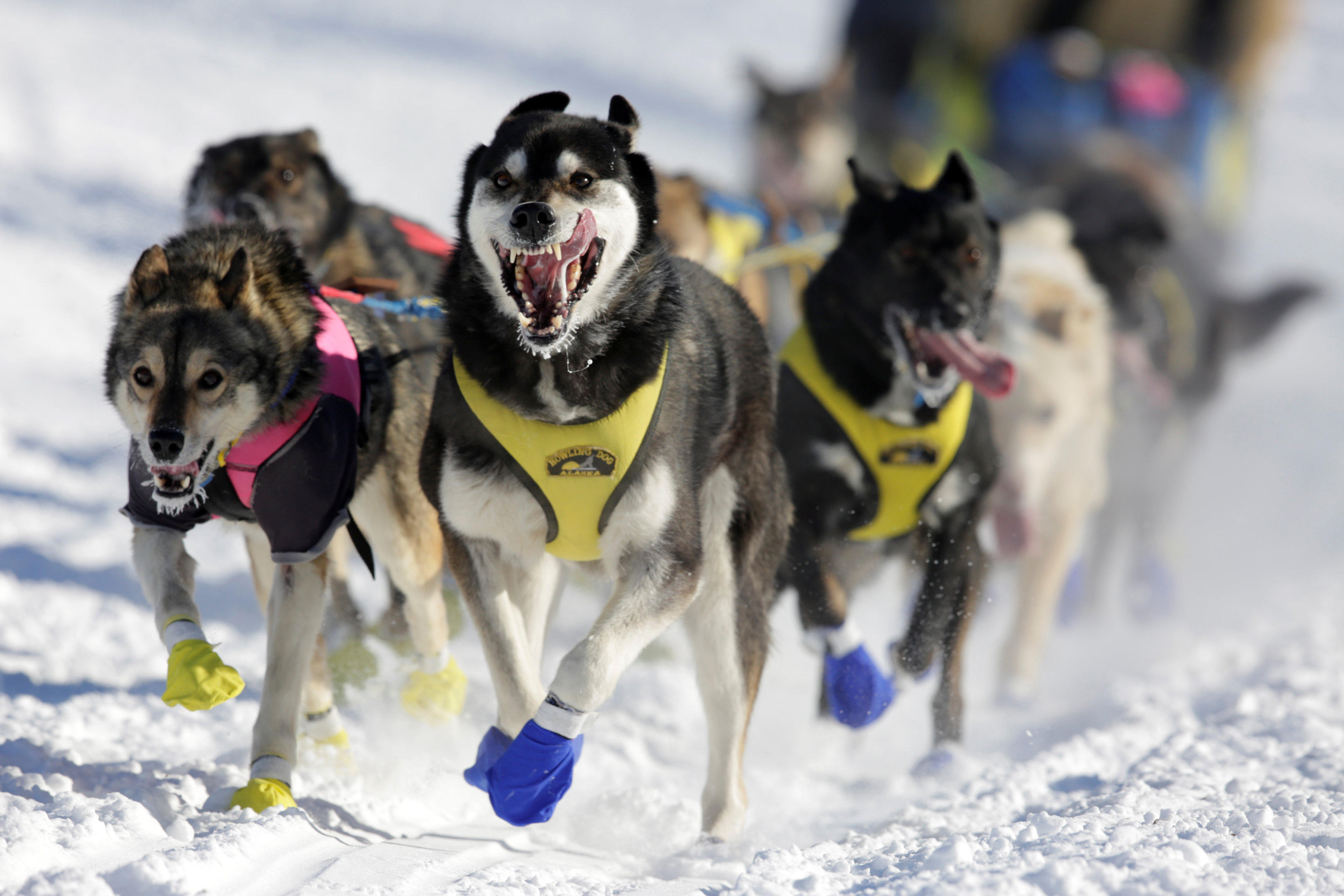 Iditarod dogs test positive for prohibited opioids, race officials say