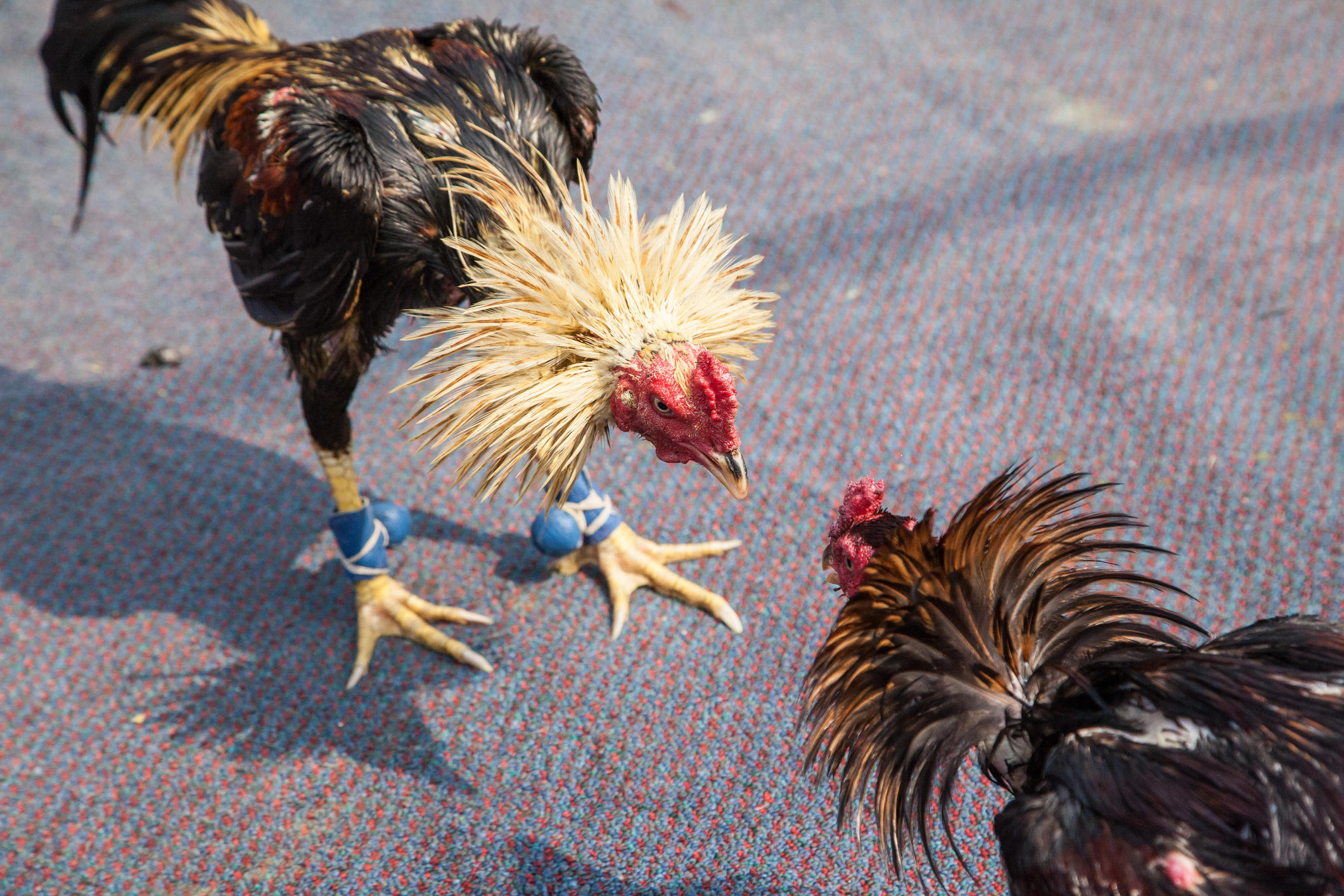 police bust cockfighting ring and recover 100 roosters