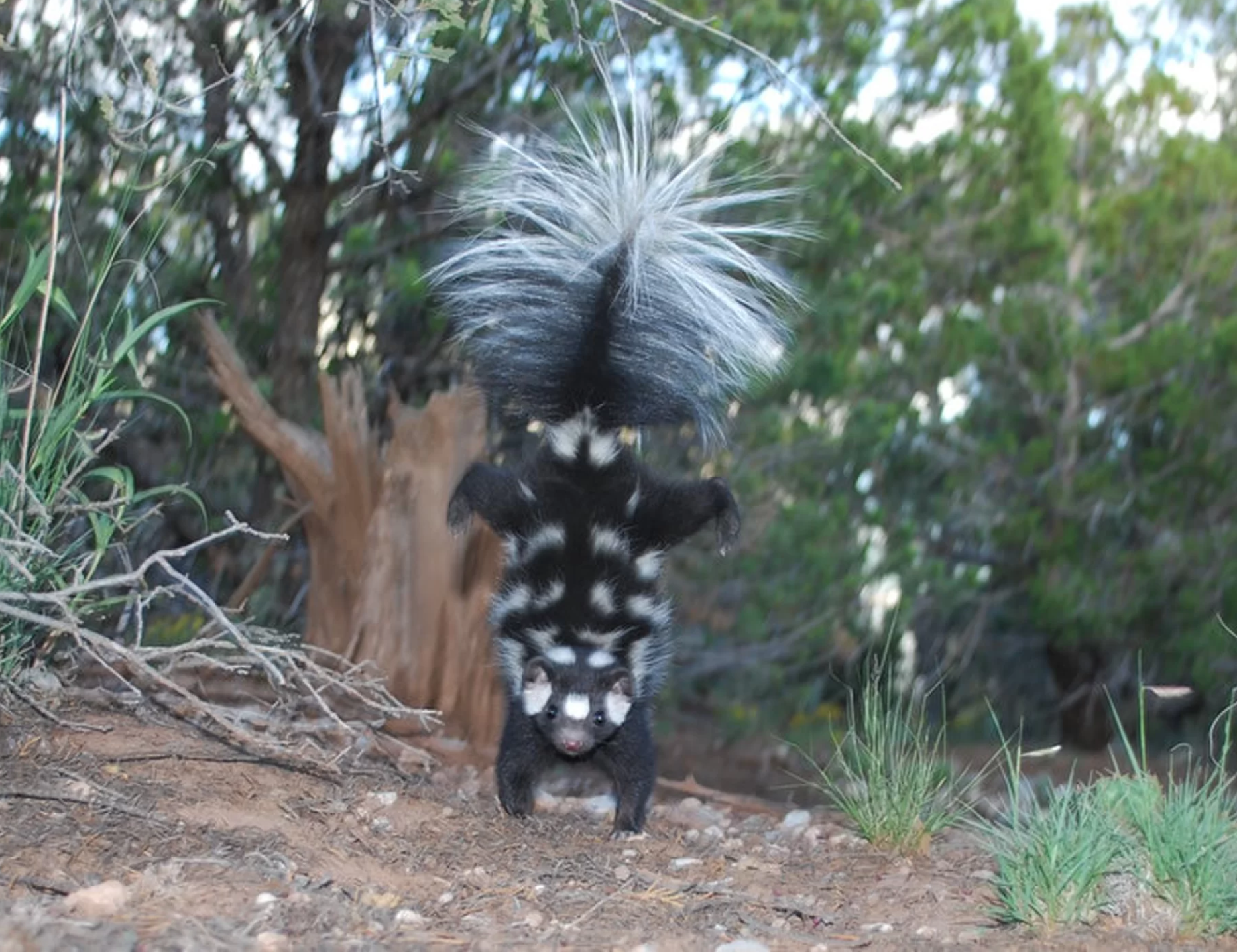 handstanding skunks u0027 dna holds clues to ancient climate cbs news