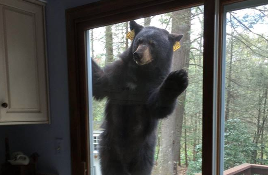 Hungry Bear Tries To Break Into Home After Smelling Freshly